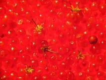 Background of stone bramble berries. Background of berries of stone bramble Stock Images