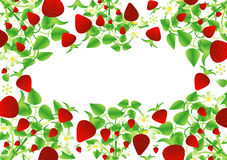 Background  with Strawberry Stock Photos