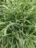Background - striped grass. stock photos