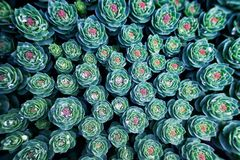 Background with succulent plant. Background with succulent plants and water drops in the garden. Top view stock photography
