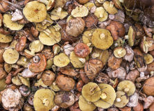 Background suillus mushroom forest yellow food. Stock Images