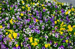 Background of summer flowers, meadow of vivid pansies violas, selective focus. Shallow depth of field Stock Photo