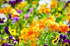 Background of summer flowers, meadow of vivid pansies violas, selective focus. Shallow depth of field Stock Photos