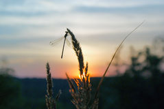 Background of summer sunset with silhouette of dragonfly on grass against sky Stock Photo
