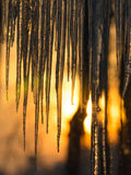 Background,  sun dawning on icicles hanging low from roof edge.  Abstract of natural icicle formation, lighted by sunrise. Stock Photography