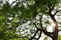 Sun rays through branches of a tree Royalty Free Stock Images