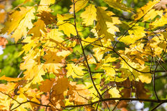 Background of sun shining through colorful autumn oak leaves Royalty Free Stock Images