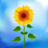 Background with sunflower Stock Photo