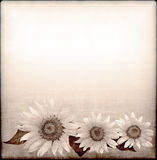 Background with sunflower drawing in grunge style Royalty Free Stock Images