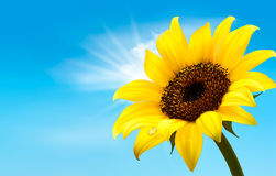 Background with sunflower field over cloudy blue s Stock Photo