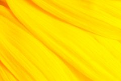 Background with sunflower petals Stock Photo