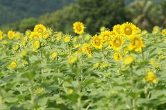 Background. Sunflower yellow tree view royalty free stock photos