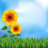 Background with sunflowers Royalty Free Stock Images