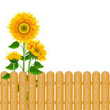 Background with sunflowers Royalty Free Stock Photo