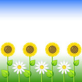 Background with sunflowers and daisy stock photo