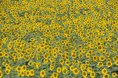 Background sunflowers Royalty Free Stock Photography