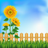 Background with sunflowers. Mesh. Background with a field of sunflowers and blue sky. Clipping Mask. Mesh Royalty Free Stock Photo