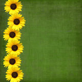 Background with sunflowers Stock Image