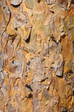 Background of sunlit pine bark Stock Images