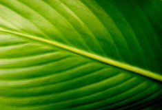 Background surface of green leaf. Background surface of green and smooth leaf Royalty Free Stock Image