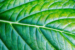 Background surface of a green leaf Stock Image