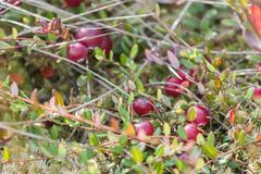 Background of swamp cranberries in wild nature Royalty Free Stock Image