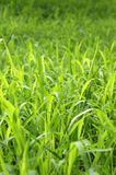 Background Of Tall Green Grass Stock Images
