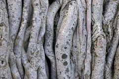 Background of Tangled Vines on a Banyan Tree Stock Image