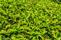 Background of tea leaves. Royalty Free Stock Photo