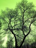 Background texture of a bare tree branches. Silhouette of the dark thin tree branches on green gradient background Stock Image