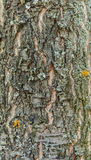 Background and texture of the bark of a forest tree.  royalty free stock photo