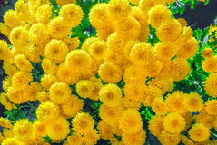Background, texture of blooming yellow chrysanthemums Stock Images