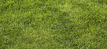 Background texture of bright green lawn Royalty Free Stock Image