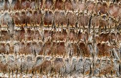 Background texture close up of palm tree bark Royalty Free Stock Photos