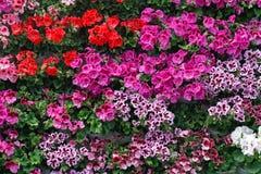 Colorful royal flowers of geranium. Background or texture of colorful royal flowers of geranium stock photos