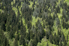 Background, texture of coniferous and deciduous trees of different colors Stock Images