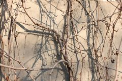 Background, texture of the dry branches of the wild grape. Texture of the dry branches of the wild grape on the grey wall background royalty free stock photos
