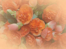 Background or texture with Elatior Begonia Stock Image