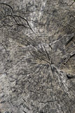 Background, texture felled a large tree trunk Royalty Free Stock Image