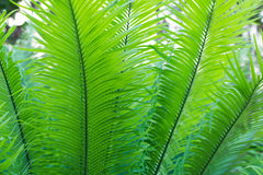 Background and texture of fern leaves close up Stock Photography
