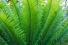 Background and texture of fern leaves close up Royalty Free Stock Photography