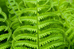 Background and texture of fern leaves. Plants pattern. Royalty Free Stock Image