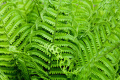Background and texture of fern leaves. Plants pattern. Stock Photos