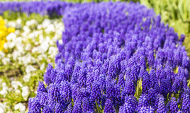 Background texture of a flower bed with a purple muscari spring flowers Royalty Free Stock Photo