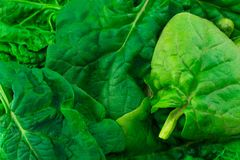 Background texture fresh green spinach leaves close up Royalty Free Stock Photo