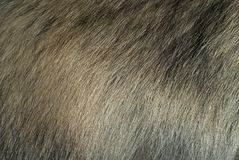Background, texture: fur of a raccoon dog royalty free stock photo