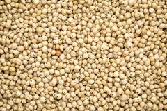 White sorghum grain background. Background and texture of gluten free white sorghum grain Stock Photo