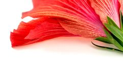 Background texture of gorgeous red pink hibiscus flower Royalty Free Stock Photography