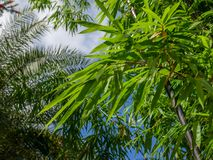 Background texture green bamboo tree.  royalty free stock images
