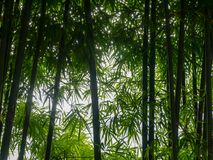 Background texture green bamboo tree.  royalty free stock photography